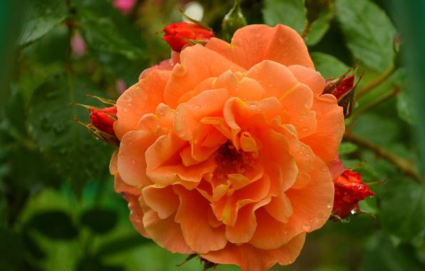 Picture rose, Macro, Flower, Flower