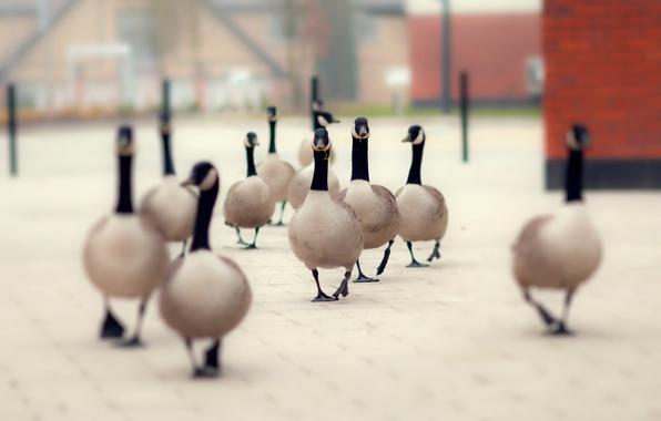 Picture birds, street, duck