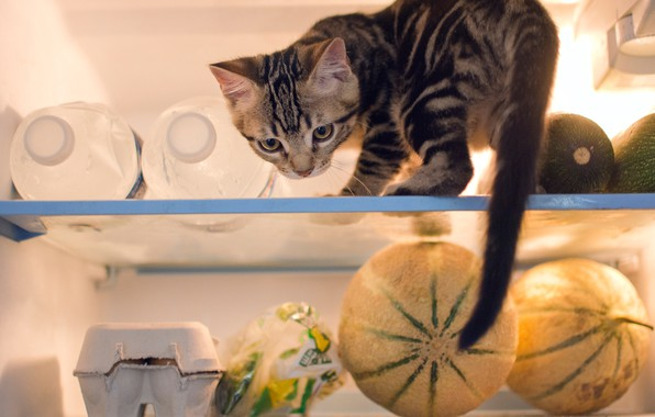 Picture cat, refrigerator, kitty, products, prankster