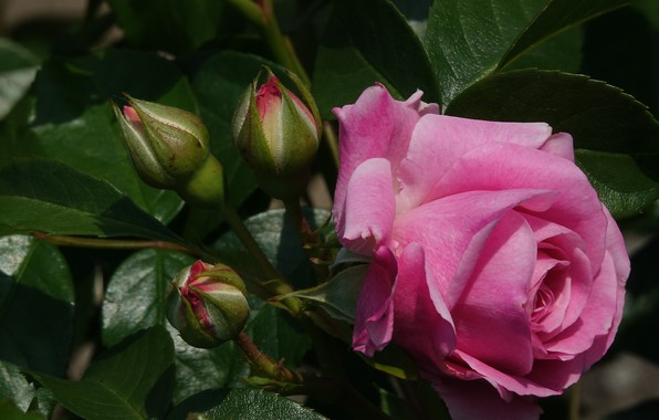Picture flowers, Rose, buds, flowering