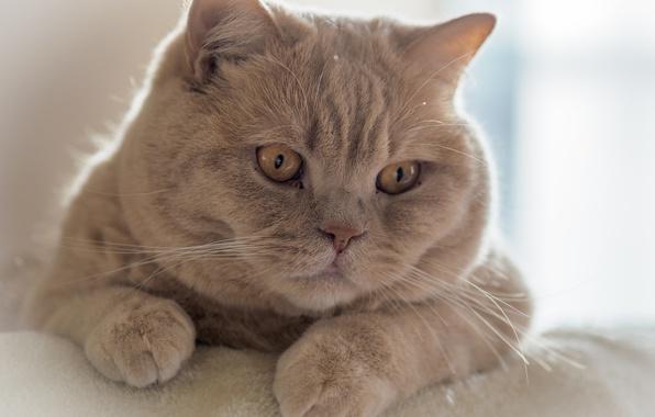 Picture cat, look, portrait, muzzle, Kote, handsome, cat, British Shorthair