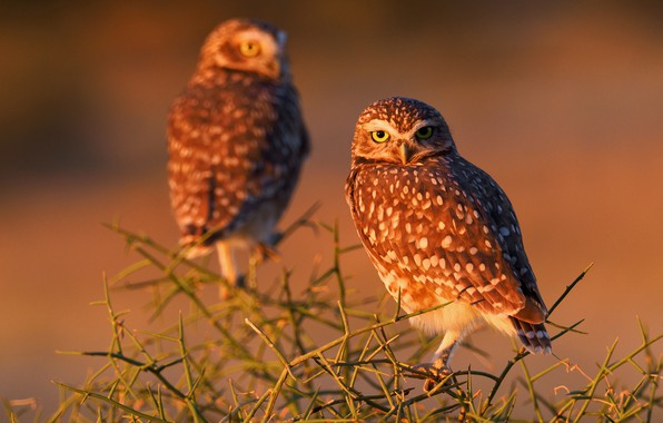 Picture birds, branches, owls, Burrowing owl