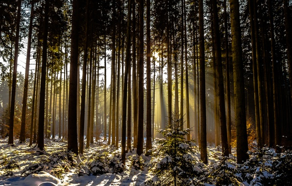 Picture winter, forest, snow, trees, sunlight