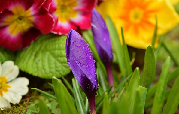 Picture Drops, Flowers, Buds, Flowers, Krokus, Crocuses, Purple flowers, Drops, Purple flowers