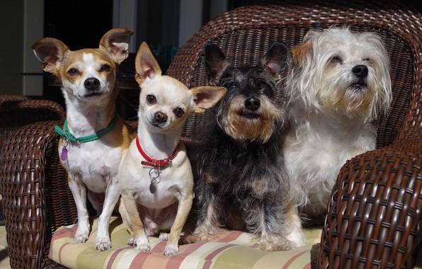 Picture dogs, chair, Quartet, group portrait