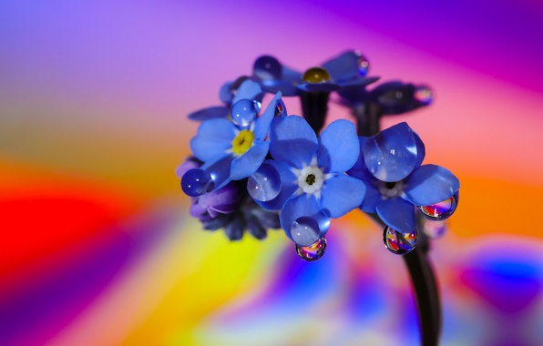 Picture flower, macro, water drops, Forget-me-nots