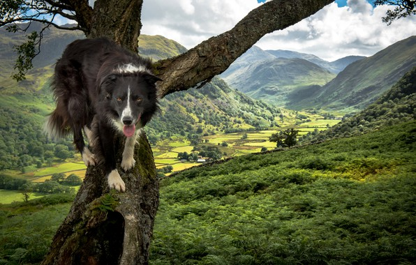 Picture greens, landscape, mountains, nature, tree, valley, The border collie