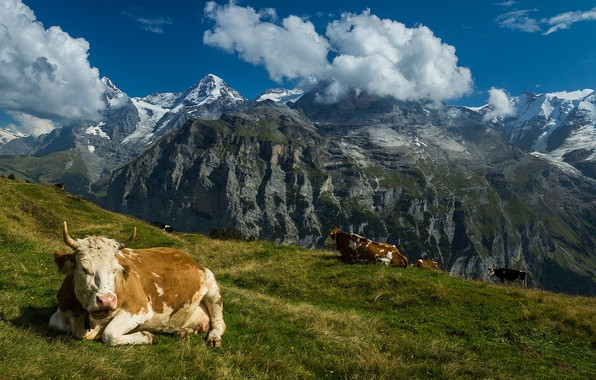 Picture mountains, Switzerland, cows