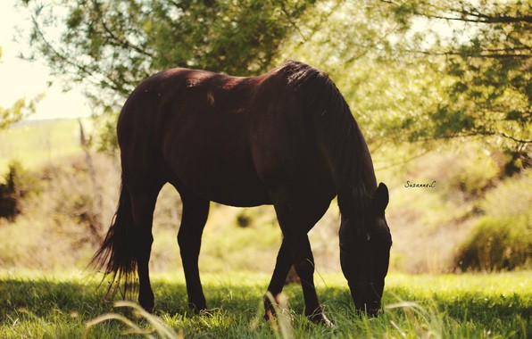 Picture summer, light, horse, horse, shadow, pasture, grazing