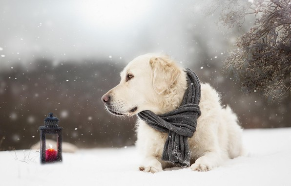 Picture winter, snow, dog, scarf, lantern, dog, Golden Retriever, Golden Retriever