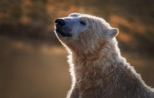 Picture face, portrait, bear, Polar bear, Polar bear