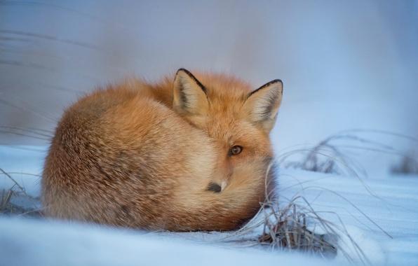 Picture winter, snow, Fox, fur, Fox