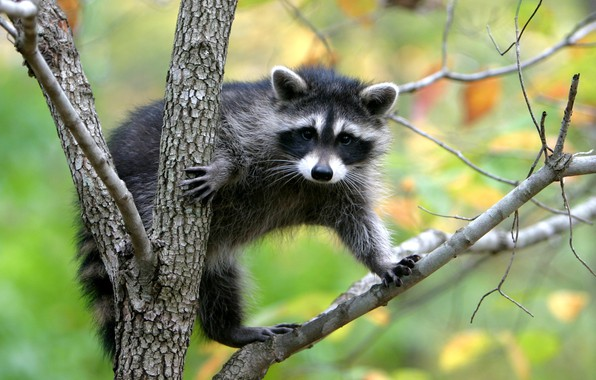 Picture nature, raccoon, interesting animal