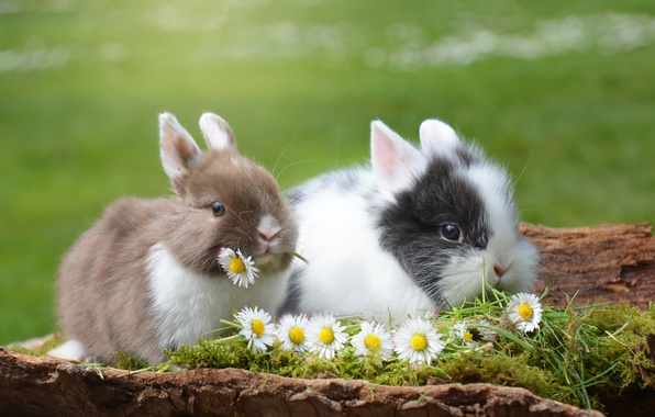 Picture animals, grass, flowers, nature, chamomile, pair, rabbits