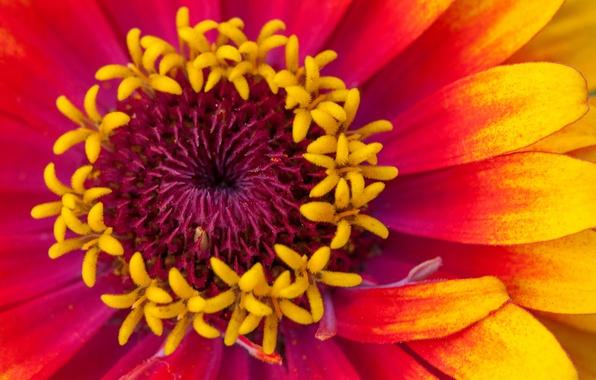 Picture flower, macro, paint, petals, zinnia