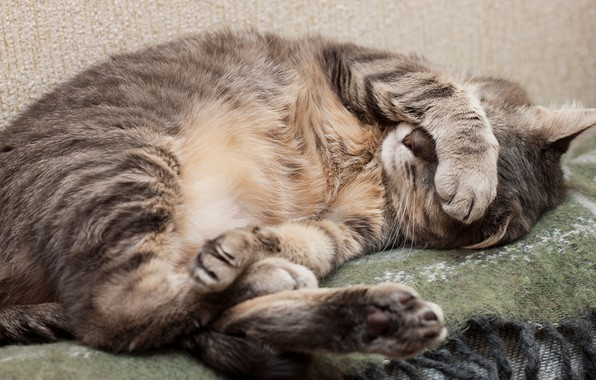Picture cat, grey, paws, wool, sleeping, lies, plaid, resting