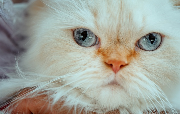 Picture look, muzzle, blue eyes, Himalayan cat