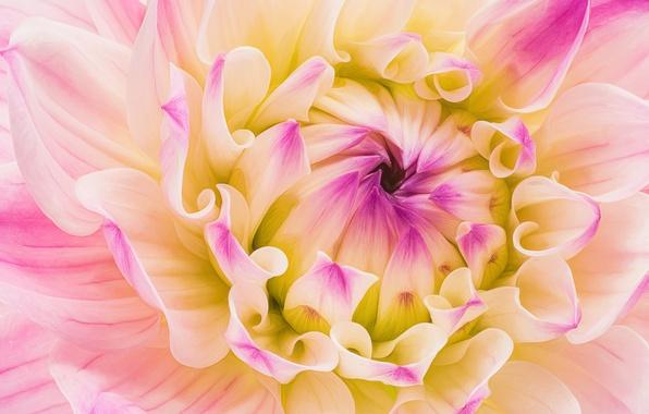 Photo wallpaper Dahlia, flower, petals