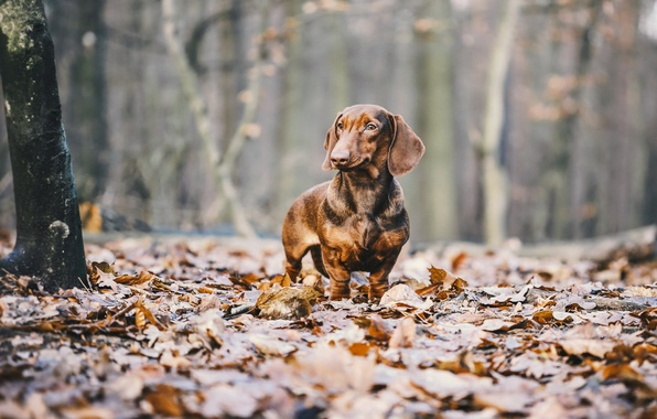 Photo Wallpaper Leaves Autumn Dachshund Dog