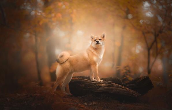 Picture autumn, forest, dog, snag, bokeh, Shiba inu, Shiba inu