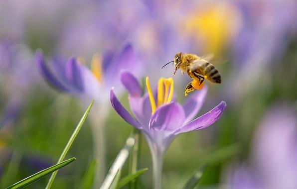 Picture macro, flowers, bee, spring, crocuses
