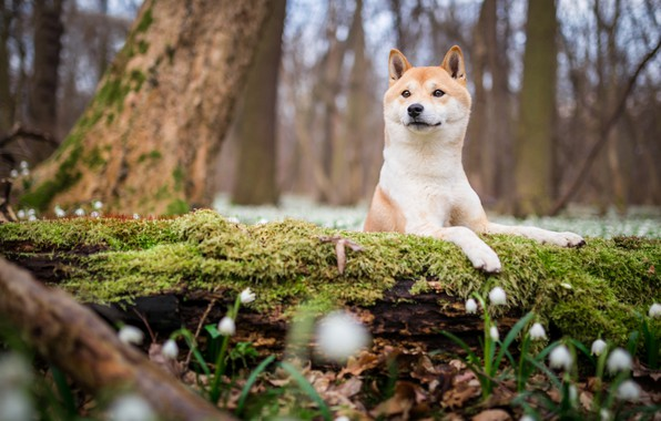 Picture forest, look, face, flowers, nature, Park, background, tree, glade, moss, dog, spring, snowdrops, puppy, log, …
