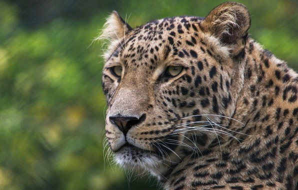 Picture cat, look, face, nature, background, portrait, leopard, wild cats