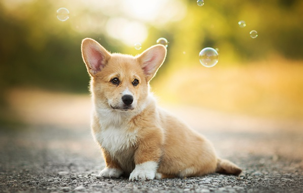 Picture dog, bubbles, puppy, bokeh, Welsh Corgi