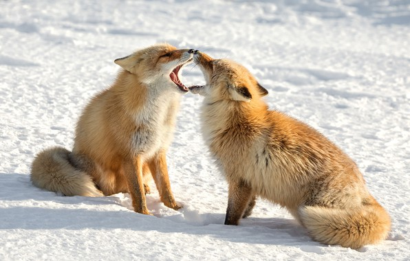 Picture winter, snow, pair, Fox, red, Duo, showdown, two foxes