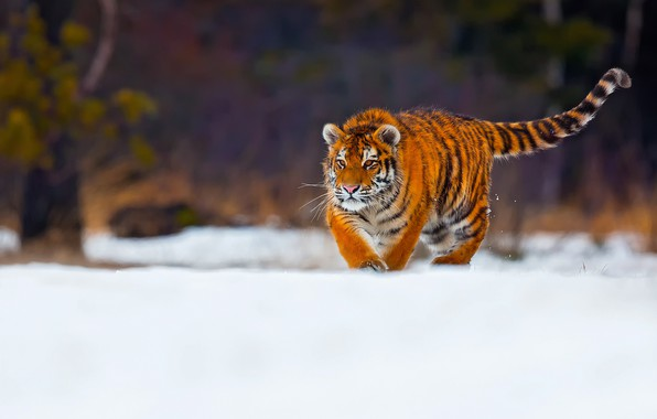Picture winter, snow, tiger, young