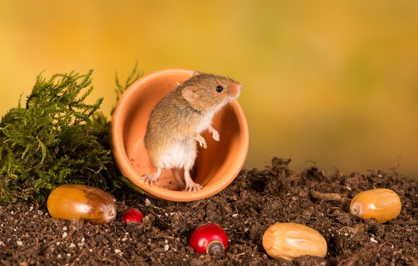Picture background, mouse, rodent, The mouse is tiny, acorns