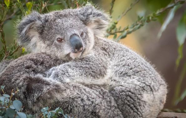 Picture cute, fur, Koala