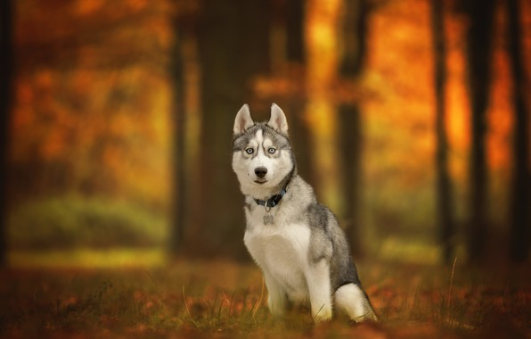 Picture autumn, look, dog, bokeh, Husky