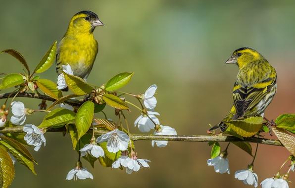 Picture birds, cherry, background, branch, pair, flowering, flowers, Siskins