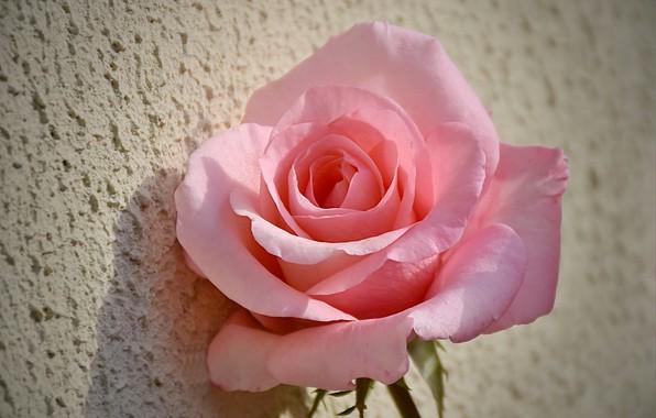 Picture Rose, Pink rose, Pink rose