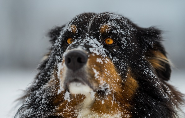 Picture winter, eyes, snow, dog, focus, wool, nose