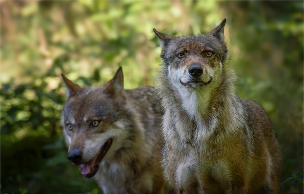 Picture animals, pair, wolves