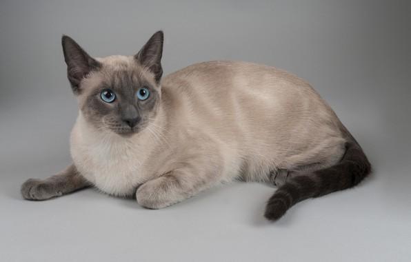 Picture cat, background, portrait, blue eyes, cat, The Thai cat