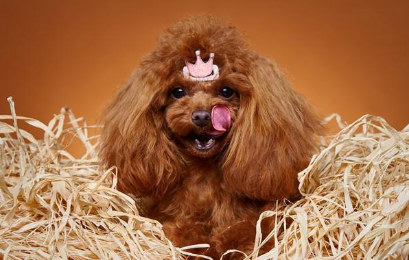 Picture language, portrait, crown, Princess, Poodle, dog