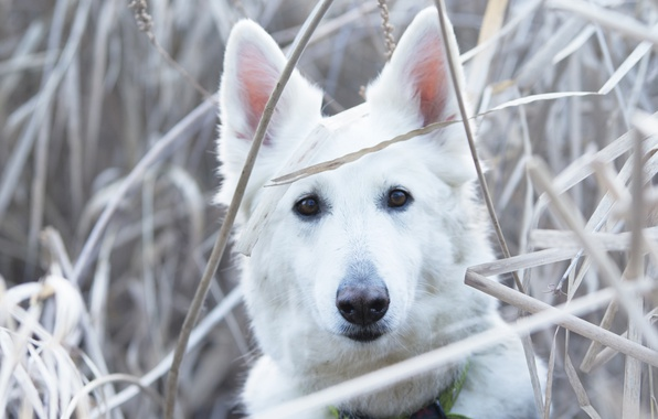 Picture grass, look, face, dog, The white Swiss shepherd dog
