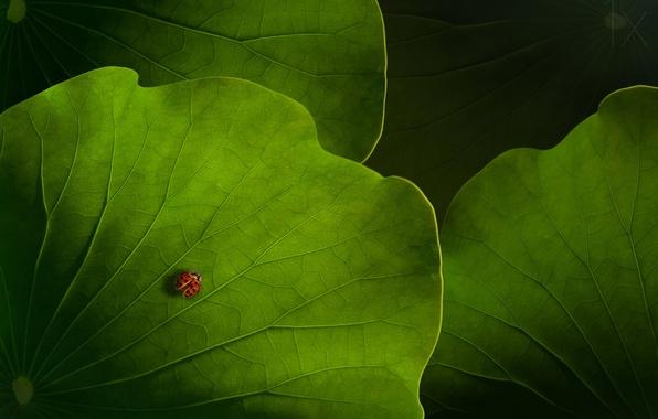 Picture macro, foliage, ladybug, beetle