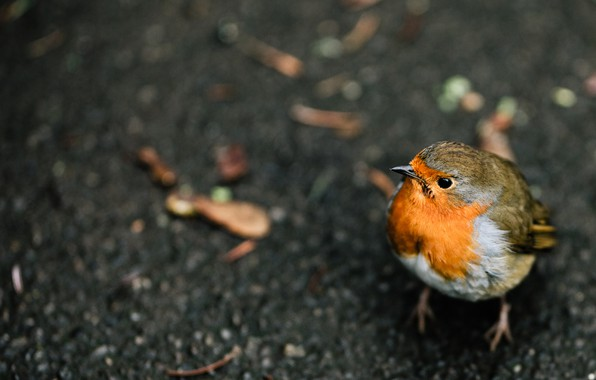 Picture bird, feathers, little, Robin