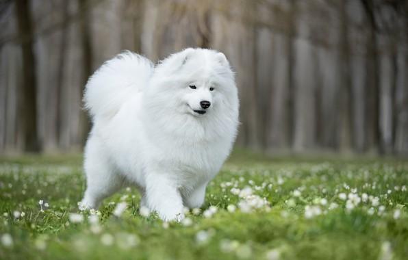 Picture flowers, glade, dog, bokeh, Samoyed