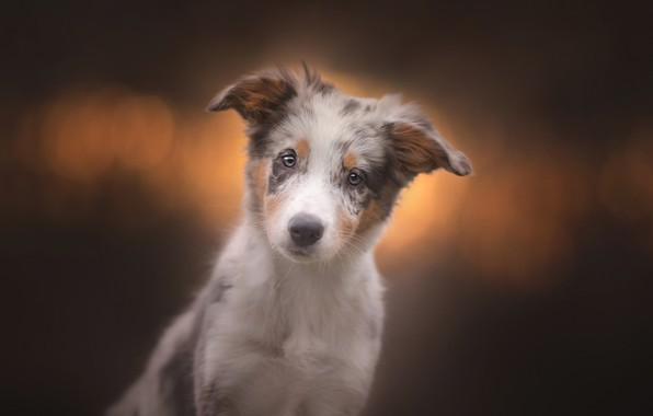 Picture look, background, dog, puppy, face, doggie, Australian shepherd, Aussie