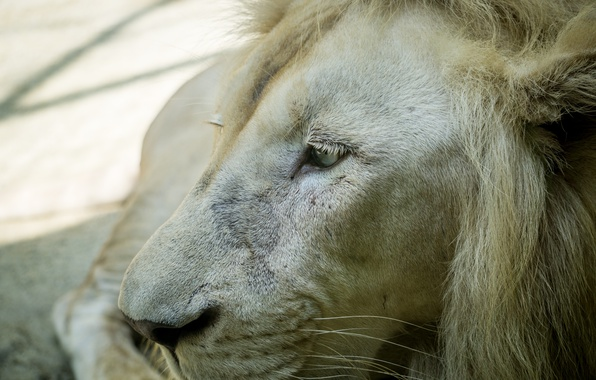 Picture white, nature, lion, animal, mammal, malaysia, sunway, white lion