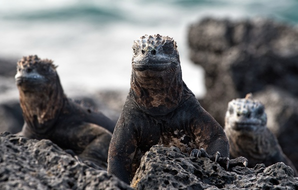 Picture nature, Marine iguanas, Amblyrhynchus cristatus