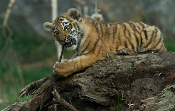 Picture nature, animal, predator, snag, cub, tiger