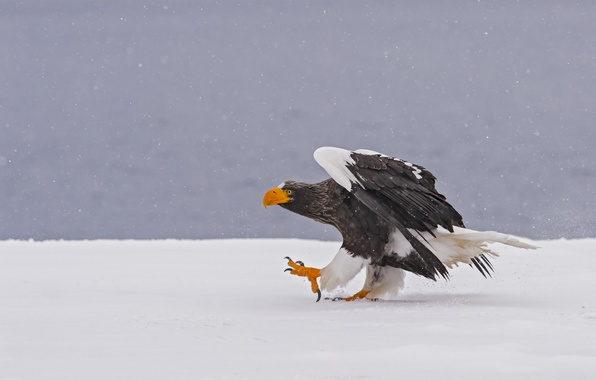 Picture winter, snow, bird, predator, Steller's sea eagle