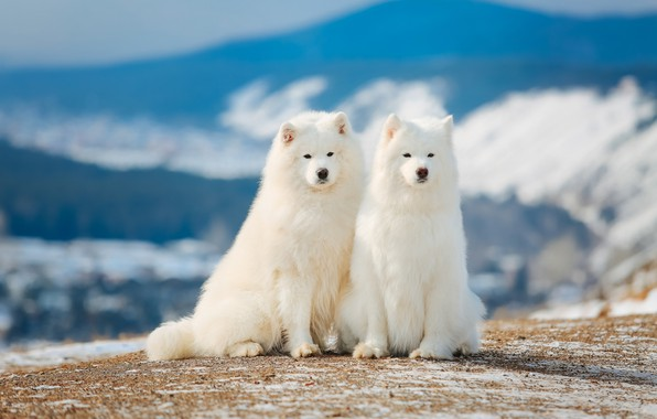 Picture white, pair, breed, Samoyed