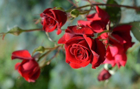 Picture macro, flowers, fly, roses, branch, buds